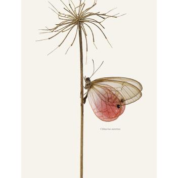Poster z motylem 50x70 Cithaerias Aurorina Tinted B