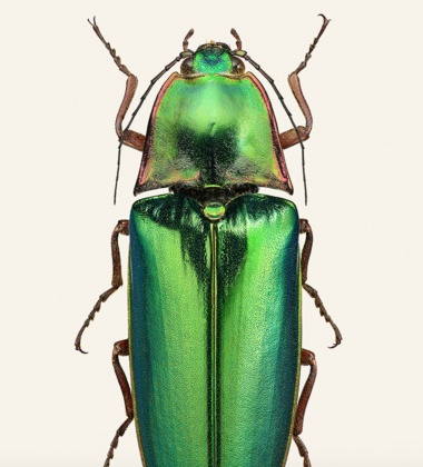 Poster żuk 30x40 Campsosternus Auratus Tinted B