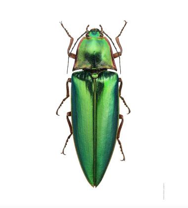 Poster żuk 50x70 Campsosternus Auratus