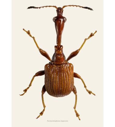 Poster chrząszcz A4 Paratrachelophorus Longicornis Tined B