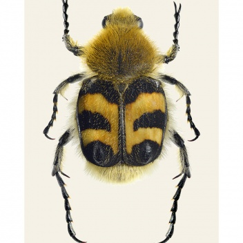 Poster pszczoła chrząszcz 30x40 Trichius fasciatus BEE BEATLE Tinted B