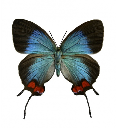 Kartka motyl 12x17 Evenus Coronata