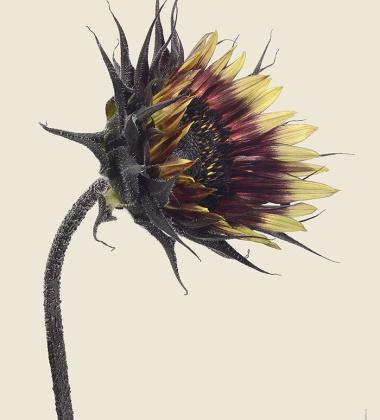 Kartka słonecznik 12x17 SUNFLOWER BURSTING Helianthus