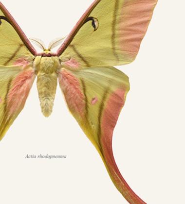 Poster ćma 30x40 Actia Rhodopneuma Tinted B