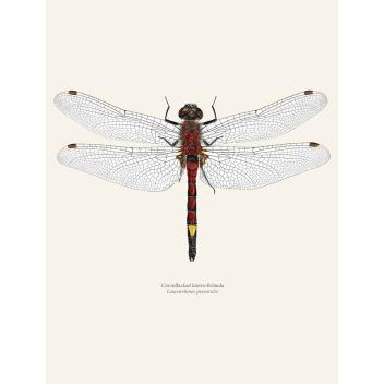 Poster ważka 30x40 Leucorrhinia Pectoralis Tinted B