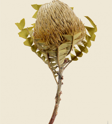Poster roślina 30x40 Baxter's Banksia Banksia Baxteri Tinted B
