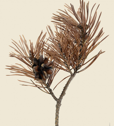 Poster sosna zwyczajna 30x40 Scots Pine Pinus Sylvestris Tinted B