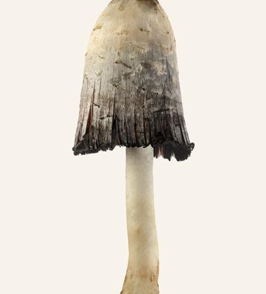 Poster grzyb Sowa - Czernidłak Kołpakowaty 30x40 Coprinus Comatus Tinted B