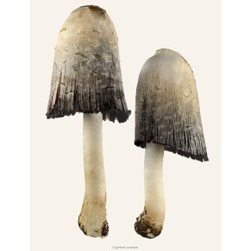 Poster grzyby Sowa - Czernidłak Kołpakowaty 30x40 Coprinus Comatus Duo Tinted B