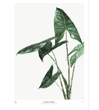 Poster Botanics 40x50 Alocasia Zebrina