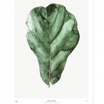 Poster Botanics 40x50 Ficus Lyrata