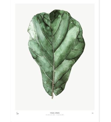 Poster 40x50 Ficus Lyrata
