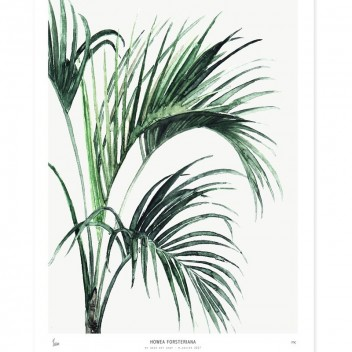 Poster Botanics 40x50 Palm Howea