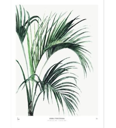 Poster 40x50 Palm Howea