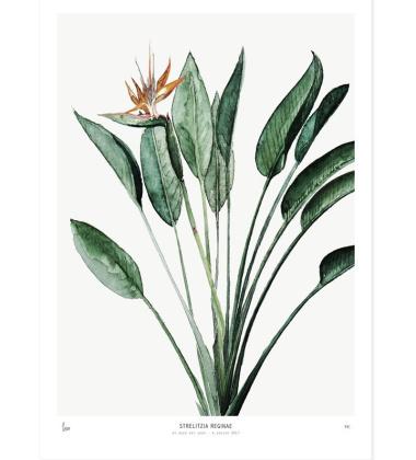 Poster Botanics 40x50 Strelitzia Reginae